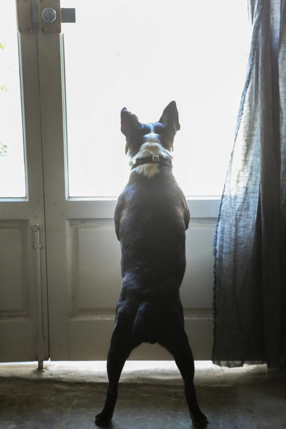 #Blossom 22 ボストンテリアのバイス 愛犬と撮影できるスタジオ